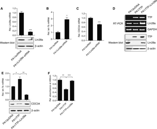 Overexpression of Lin28a attenuates the effects of TTP on let-7 b levels, CDC34 levels and PA1 cell growth. (A–C) Downregulation of Lin28a by siRNA increases let-7b levels but decreases CDC34 levels in PA1 cells. PA1 cells were transfected with Lin28a-specific (Lin28a-siRNA) or scRNA for 24 h. (A) The level of Lin28a was determined by qRT-PCR (top panel) and western blot assays (bottom panel). The levels obtained from PA1/scRNA cells were set to 1.0. Data are presented as the mean ± SD (n = 3) (***P < 0.001). (B) The level of mature let-7b was measured by qRT-PCR. The levels obtained from PA1/scRNA cells were set to 1.0. Data are presented as the mean ± SD (n = 3) (*P < 0.05). (C) The level of CDC34 was determined by qRT-PCR. The levels obtained from PA1/scRNA cells were set to 1.0. Data are presented as the mean ± SD (n = 3) (***P < 0.001). (D–F) Transfection of Lin28a cDNA without the 3′-UTR abolishes the effects of TTP on expression of let-7b, CDC34 and PA1 cell growth. PA1 cells were transfected with a combination of pcDNA6/V5-TTP and pcDNA3/Flag-Lin28a for 24 h. (D) The levels of TTP and Lin28a were measured by semi-qRT-PCR (top panel) and western blot assays (bottom panel). (E) The level of let-7b was measured by qRT-PCR. The levels obtained from PA1/pcDNA cells were set to 1.0. Data are presented as the mean ± SD (n = 3) (*P < 0.05; **P < 0.01). (F) Cell viability was assessed by measuring absorbance at 490 nm using a MTS cell proliferation assay. The levels obtained from PA1/pcDNA cells were set to 1.0. Data are presented as the mean ± SD (n = 3) (**P < 0.01; ***P < 0.001).