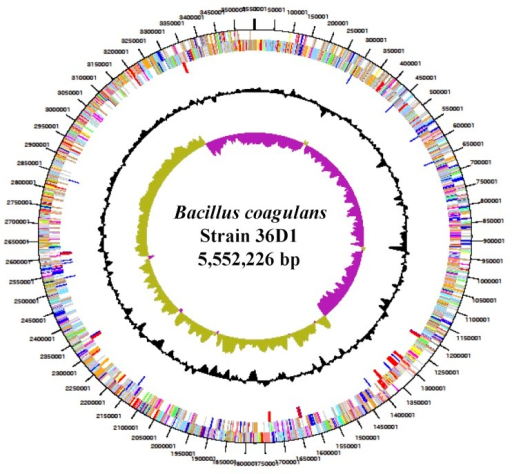 Graphical circular map of the genome of B. coagulans strain 36D1. From outside to center: Genes on forward strand (color by COG categories), Genes on reverse strand (color by COG categories), pseudogenes, % G+C, GC skew.