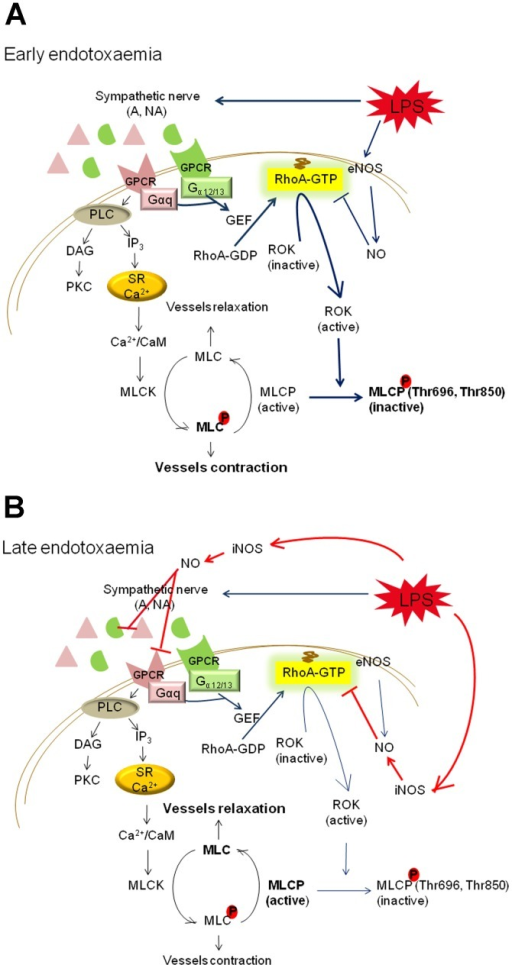 RhoA/ROK pathway is (A) activated in early endotoxaemia ...