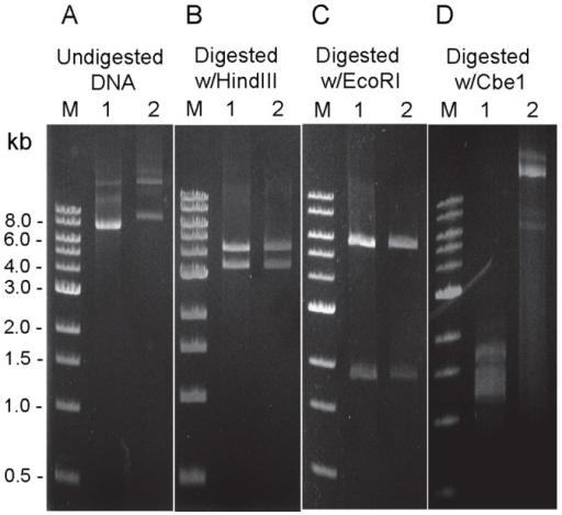 Comparison of DNA modification status between shuttle vector DNA isolated from E.coli (Lane 1) and C. hydrothermalis transformants (Lane 2) by Restriction analysis.(A) Undigested, (B) Digested with HindIII (4.3 and 3.4 kb cleavage products); (C) Digested with EcoRI (4.6 and 1.9 kb cleavage products); (D) Digested with CbeI (11 cleavage products are expected). M: 1 kb DNA ladder (NEB).