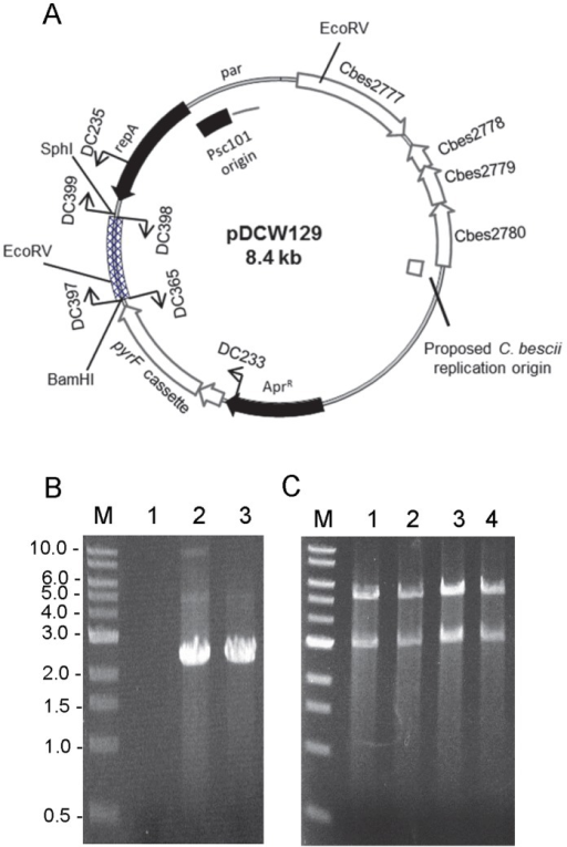 Plasmid map of pDCW129 and verification of its ability to structurally stable maintenance of inserted DNA fragment through transformation and replication in C.bescii.(A) Diagram of pDCW129. A linear DNA fragment containing the CBM3 and linker region derived from celA (Cbes1867) was inserted into pDCW89 shuttle vector. The cross-hatched box corresponds to a 0.68 kb of inserted DNA fragment. All features in pDCW129 are indicated at figure legend in Fig. 2A. The primers and restriction site (EcoRV) used for the construction and verification are indicated. (B) Gel showing the 2.2 kb DNA fragment containing the pyrF cassette and inserted DNA fragment, amplified by using primers DC233 and DC235. Lane 1, total DNA isolated from JWCB005; lane 2, total DNA isolated from C. bescii transformant with pDCW129; lane 3, pCW129 isolated from E. coli. (C) EcoRV restriction digestion analysis of plasmid DNA before and after transformation of C. bescii and back-transformation to E. coli. Lane 1, pDCW129 plasmid DNA isolated from E. coli DH5α; lane 2, 3 and 4, plasmid DNA isolated from three biologically independent E. coli DH5α back-transformed from C. bescii transformants. M: 1 kb DNA ladder (NEB).