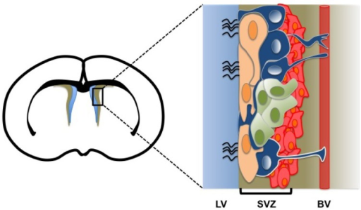 Scheme illustrating the mammalian neural stem cell niche. The left image represents a coronal view of the adult brain at the level of the lateral ventricule. The subventricular zone (SVZ; brown area) of the cerebral cortex is shown (black box). The enlarged box (right image) describes the architecture of the neural stem cell niche where resident type B cells (blue), C cells (green), A cells (red), and ciliary ependymal cells (peach) are shown. The lateral ventricle (LV) (blue area), the SVZ (brown area) and a blood vessel (BV; red rectangle) are also represented. Based on work from [13,14].