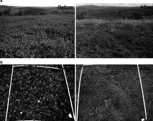 Photographs illustrating the effects that a severe outbreak of geometrid moth may have on birch forest plant communities. aBetula nana-dominated open heath site located immediately above the tree line before (16 August 2002) and after (22 August 2006) the moth outbreak. bChamaepericlymenum suecicum-dominated forest plot before (29 August 2002) and after (19 August 2006) the moth outbreak