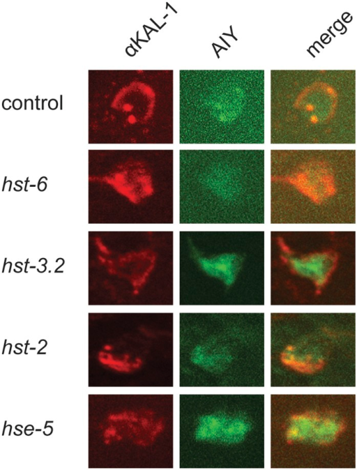 Localization of the KAL-1 is independent of HS modifications. Shown are antibody stains with an ɑKAL-1 antibody (Bülow et al. 2002) of KAL-1 expressing animals (otIs76 mgIs18(Is[Pttx-3::kal-1, Pttx-3::gfp]) in different genetic backgrounds as indicated. As described (Bülow et al. 2002), KAL-1 staining (red) appears to label the cell surface of the AIY interneurons (green) and is not visibly affected in different mutant backgrounds under the experimental conditions.