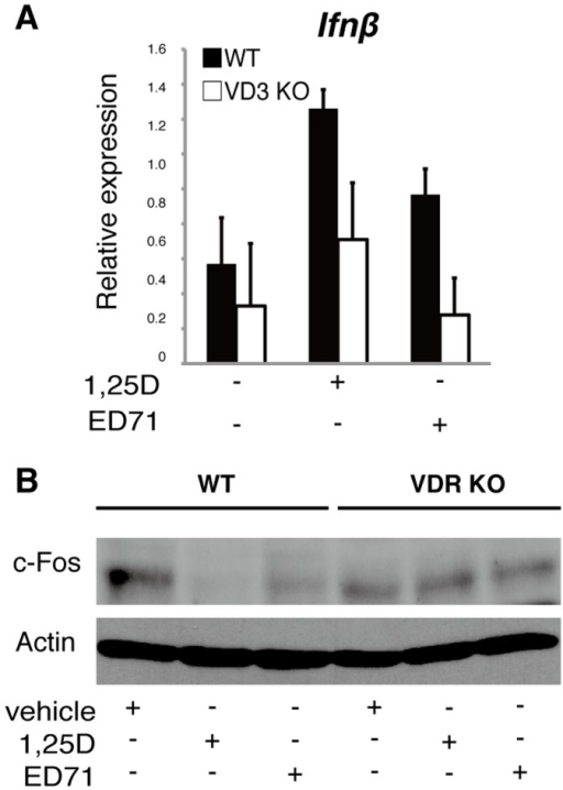 ED71 or 1,25(OH)2D3 induce Ifnβ and suppress c-Fos protein through the VDR.(A and B) M-CSF-dependent osteoclast progenitor cells were isolated from wild-type or VDR-deficient mice and cultured in the presence of M-CSF alone (50 ng/ml) or M−CSF + RANKL (25 ng/ml) with or without 10−7 M of ED71 or 1,25(OH)2D3 (1,25D) for 5 days. Ifnβ expression was then analyzed by realtime PCR (A). Data represent mean Ifnβ expression relative to that of Actb ± SD (n = 5). c-Fos protein was analyzed by western blot (B).