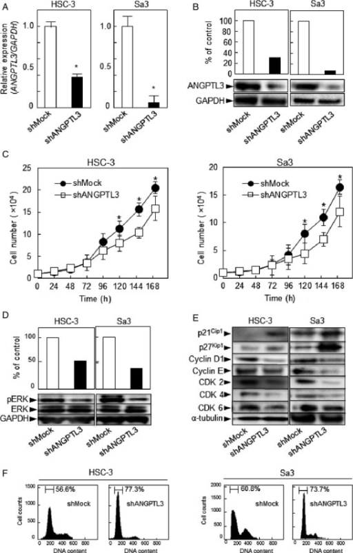 Expression of ANGPTL3 and ANGPTL3 knockdown inhibits ERK activation and promotes G1 arrest. (A) qRT-PCR shows that ANGPTL3 mRNA expression in the shANGPTL3-transfected cells (HSC-3- and Sa3-derived transfectants) is significantly (*P < 0.05, Mann–Whitney U-test) lower than in the shMock-transfected cells. (B) Immunoblotting analysis shows that the ANGPTL3 protein levels in the shANGPTL3-transfected cells (HSC-3- and Sa3-derived transfectants) also are decreased markedly compared with the shMock-transfected cells. (C) To determine the effect of shANGPTL3 on cellular proliferation, shANGPTL3-, and shMock-transfected cells were seeded in six-well plates at a density of 1 × 104 viable cells/well. Both transfectants were counted on seven consecutive days. The cellular growth of shANGPTL3-transfected cells (HSC-3- and Sa3-derived transfectants) is significantly inhibited compared with the shMock-transfected cells after 7 days (168 h). The results are expressed as the means ± SEM of values from three assays. The asterisks indicate significant (*P < 0.05, Mann–Whitney U-test) differences between the shANGPTL3 and shMock cells. (D) Immunoblotting analysis shows that ANGPTL3 knockdown results in decreased levels of pERK compared with the shMock-transfected cells (HSC-3- and Sa3-derived transfectants). Densitometric pERK/ERK protein data are normalized to GAPDH protein levels. (E) Immunoblotting analysis shows upregulation of p21Cip1 and p27Kip1 and downregulation of cyclin D1, cyclin E, CDK2, CDK4, and CDK6 in the shANGPTL3-transfected cells (HSC-3- and Sa3-derived transfectants) compared with the shMock-transfected cells. (F) Flow cytometric analysis was performed to investigate cell-cycle progression in the shANGPTL3- and shMock-transfected cells after synchronization at the G2/M phase to treatment with nocodazole. The percentage of cells at the G1 phase in the shANGPTL3-transfected cells (HSC-3- and Sa3-derived transfectants) is increased markedly compared with the shMock- transfected cells.