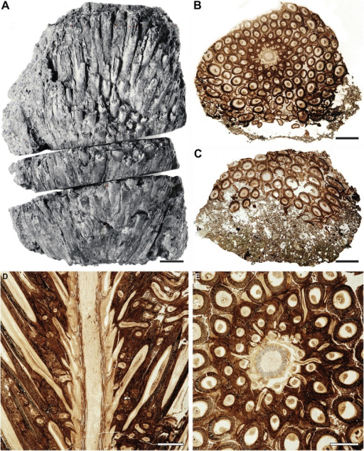 Osmunda pulchella sp. nov. from the Lower Jurassic of Skåne, southern Sweden. Holotype. a Reproduction of the only available print of the original holotype material prior to preparation, showing the gross morphology of the rhizome. b, c Transverse sections through center (B: NRM-S069656) and apex (C: NRM-S069657) of the rhizome. d Longitudinal section through the rhizome (NRM-S069658). (E) Detail of Fig. 1B. Scale bars: (a–c) = 5 mm; (d, e) = 2 mm
