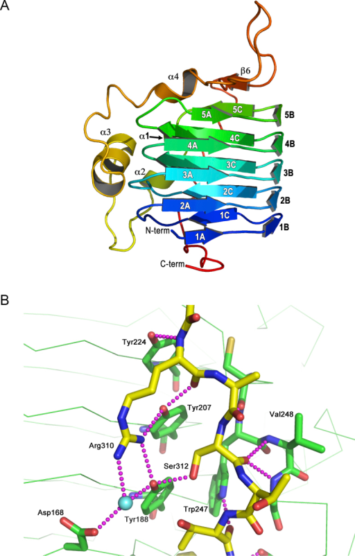 The structure of LmTBCC-C. (A) A ribbon diagram of the fold, colored blue to red from N-terminus to C-terminus. Helix α1, is obscured behind the β-helix structure in this orientation. (B) The tyrosine ladder and a nearby tryptophan (green C atoms) and stabilizing hydrogen bonding interactions (purple dashed lines) formed with the extended C-terminal residues (yellow C atoms). A water molecule is depicted as a cyan sphere, N and O atoms are colored blue and red respectively (For interpretation of the references to color in this figure legend, the reader is referred to the web version of this article.).