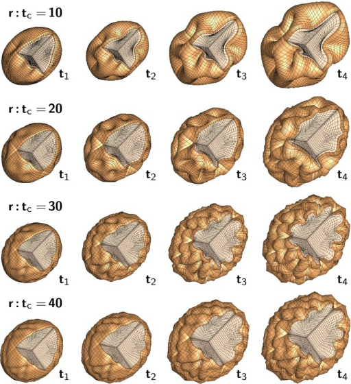 Computational modeling of brain surface morphology. Keeping the thickness of the cortical layer constant, we observe that larger brains tend to be more folded. Indeed, as the radius-to-thickness ratio increases from , top, to , bottom, the brain surface becomes more convoluted as time evolves from  to