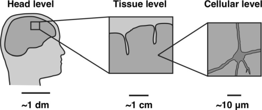 The length scales involved with traumatic brain injury ranging from decimeters at the head level to micrometers at the cellular level, reproduced from Cloots et al. (2012)