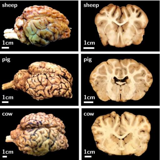 Surface Morphology Of The Mammalian Brain Larger Mamma Open I