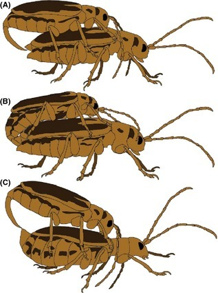Trirhabda eriodictyonis mating. (A) Male initiating mating. (B) Pair successfully mating. (C) Female rejecting male with upturned tip of abdomen, preventing the male from inserting his aedeagus. Drawings by Cindy Hichcock.