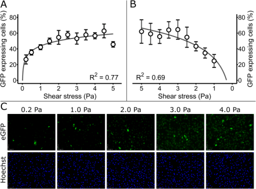 The gene network senses graded levels of shear stress.(A) Graded gene network activation by shear stress. HMEC-1 cells were transfected with the procedure described in Fig. 2 and seeded in the flow channel shown in Fig. 3 for activation by linearly increasing shear stress. Following the flow experiment, cells were stained with Hoechst 33342 and propidium iodide, fixed with paraformaldehyde, and microscopy imaged and counted in ImageJ. Plotted GFP expressing HMEC-1 cell percentages versus shear stress shows a logarithmic relationship (N = 7 flow chambers). Error bars represent ± SD. (B) Pilot flow experiment with reversed flow direction (high shear to low shear). Cells were treated as described in part A with the exception of the flow direction being connected in the opposite direction in the flow channel (high shear to low shear). GFP expressing HMEC-1 cell percentages vary logarithmically in function of shear stress (N = 1 flow channel, 4 sets of images). (C) Representative fluorescent images of HMEC-1 endothelial cells electroporated with the synthetic network and exposed to different levels of shear stress (based on position within the microfluidic device), as described in part A. Green fluorescence (GFP) indicates gene network activity and blue fluorescence (Hoechst) shows the total number of cells.