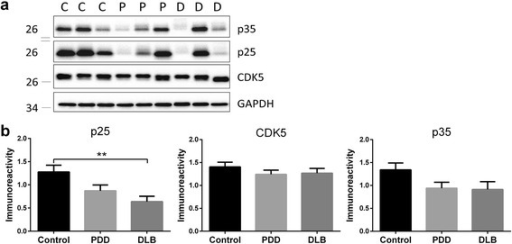 Decreased CDK5 activator, p25 in DLB parietal cortex. a Representative immunoblots and b bar graphs of p25, p35 and total CDK5 immunoreactivities (mean ± SEM in arbitrary units), with GAPDH used as a loading control. Available N for control (C) = 19; PDD (P) = 19 and DLB (D) = 20. **p < 0.01, significant difference for multiple pair-wise comparisons (one-way ANOVA with Bonferroni post-hoc tests)