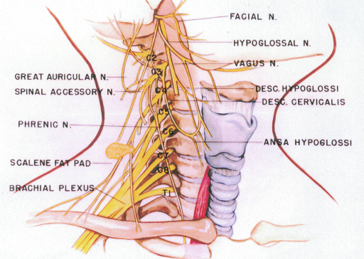 great auricular nerve; spinal accessory nerve; phrenic nerve; scalene fat pad; brachial plexus; facial nerve; hypoglossal nerve; vagus nerve; descending hypoglossi; ansa hypoglossi nerve; ansa cervicalis nerve; second cervical vertebra; third cervical vertebra; fourth cervical vertebra; fifth cervical vertebra; sixth cervical vertebra; seventh cervical vertebra; eighth cervical vertebra; first thoracic vertebra