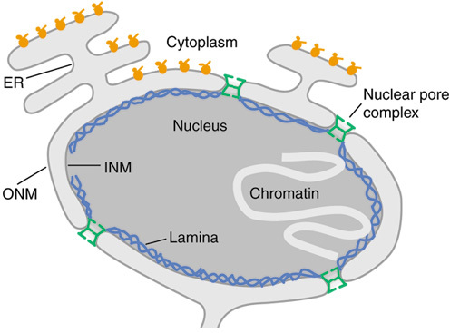 Schematic of the nuclear envelope. The outer nuclear me | Open-i
