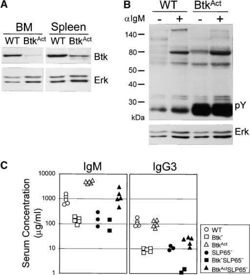 Low-level BtkAct expression can partially substitute for the absence of Btk and SLP-65. (A) Western blotting analysis of Btk expression in WT and BtkAct B cells from BM and spleen. Membrane was reblotted with anti-Erk. (B) Protein tyrosine phosphorylation in extracts of untreated and anti-IgM stimulated WT or BtkAct splenic B cells, analyzed by immunoblotting with a phosphotyrosine (pY)-specific antibody. Membrane was reblotted with anti-Erk. (C) Serum concentrations of IgM and IgG3 in the indicated mutant mouse strains. Mice were 2 mo of ages and each symbol represents an individual animal. (D) Flow cytometric analysis of surface IgM/IgD expression on total lymphoid cells in the spleen of the indicated mice. (E) Expression profiles of B220 and IgM on total lymphoid cells in the BM of the indicated mice (top). The B220+IgM- pro-/pre-B cell fractions were gated and analyzed for CD43/FSC and cytoplasmic SLC and μ H chain (bottom). Data are displayed as dot plots and the percentages of cells within the indicated quadrants or gates are given. Data shown are representative of four mice examined within each group.
