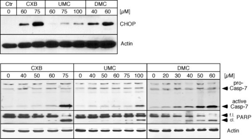 Increased expression of markers for ER stress and apoptosis in response to treatment with CXB, UMC, and DMC. U251 glioblastoma cells were treated with the indicated concentrations of CXB, UMC, and DMC and cell lysates were analyzed by Western blot with specific antibodies to CHOP (a pro-apoptotic ER stress indicator protein), cleaved (i.e., activated) caspase 7 (an ER stress-associated protein that participates in the execution of apoptosis), and PARP (proteolytic cleavage of PARP is executed by caspase 3 and indicates ongoing apoptosis). To verify equal loading in each case, the blots were also probed with an antibody to actin. The top panels represent lysates from cells treated with drugs for 18 hours (to reveal earlier events during ER stress). The bottom panels represent lysates from cells treated with drugs for 48 hours (to reveal later stages of ER stress-induced apoptosis). f.l.: full length PARP; cl.: cleaved PARP.