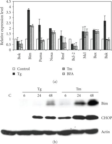 ER stress-mediated induction of Bcl-2 family members in H9c2 cells. (a) H9c2 cells were left untreated or treated with (2 μM) Tg, (2 μg/ml) Tm, or (2 μg/ml) BFA for 24 hours. The change in expression levels of ER stress markers was measured by real-time RT-PCR normalized against GAPDH expression and plotting expression levels relative to the control. Error bars represent mean ± SD from an experiment performed in duplicate and reproduced twice. (b) H9c2 cells were left untreated or treated with (2 μM) Tg, (2 μg/ml) Tm for indicated time points, and induction of Bim, and CHOP was determined by western blot analysis. β-actin was used to determine equal loading of samples.