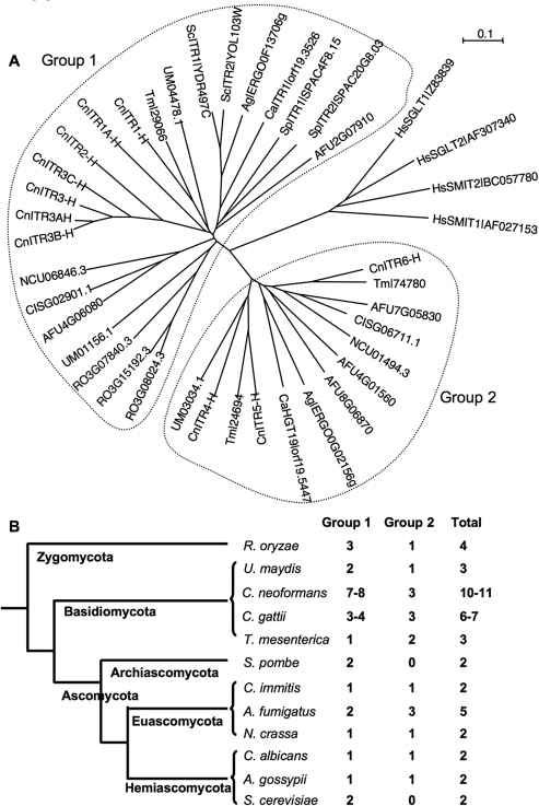 Phylogenetic analysis of myo-inositol transporter (Itr) proteins among different fungi. (A) myo-Inositol transporter homologs from the Hemiascomycota (S. cerevisiae, A. gossypii, and C. albicans), Euascomycota (N. crassa, Aspergillus  fumigatus, and C. immitis), Archiascomycota (S. pombe), Basidiomycota (U. maydis and C. neoformans var. grubii), and Zygomycota (R. oryzae) were identified based on BLAST searches. The human sodium-dependent inositol transporters served as outgroup controls. (B) Numbers of Itr homologs in different fungi.