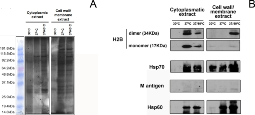 Co-immunoprecipitation identifies proteins partners that display distinct patterns in the different cellular fractions and temperature conditions.(A) Representative SDS-PAGE gel of pull down samples obtained after co-immunoprecipitation of extracts. The experiment was repeated three times with consistent results. (B) Immunoblots with mAbs against the H2B, M antigen and Hsp70 indicated the presence of these proteins in the extracts.