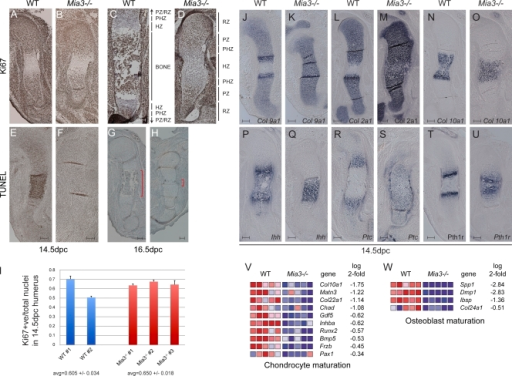 Early chondrocyte proliferation, differentiation, and critical patterning pathways are preserved in 14.5-dpc humeri despite abnormal chondrocyte morphology in Mia3−/− embryos. (A–D) Ki67 labeling of 14.5-dpc (A and B) and 16.5-dpc (C and D) humeri demonstrate normal proliferation of mutant chondrocytes. RZ, PZ, PHZ, and HZ denote resting, proliferative, prehypertrophic, and hypertrophic zones, respectively. (E and F) The majority of terminally differentiated hypertrophic chondrocytes are TUNEL positive in wt 14.5-dpc humeri (E), whereas Mia3- hypertrophic chondrocytes fail to die (F). (G and H) Scattered dying cells are restricted to the hypertrophic zone in 16.5-dpc wt and Mia3- humeri (red brackets). (I) Ki67-positive (+ve) cells within the proliferative zone. Mean values are presented, and SEM is shown from two independent wt samples and three Mia3−/− humeri with 4–10 sections/animal. (J–U) Section in situ analysis comparing expression of Col9a1, Col2a1, Col10a1, Ihh, Ptc, and Pth1r between wt and Mia3- 14.5-dpc humeri demonstrates an intact Ihh and Pth1r signaling axis despite dysmorphism of the cartilage. (V and W) Comparison of 14.5-dpc wt and Mia3−/− forelimb RNA on Mouse Genome 430 v2.0 arrays (Affymetrix) reveals an overall reduction in genes associated with chondrogenic progression (V) and osteoblast expansion (W; n = 5 per group, P < 0.05). Expression values are represented as colors, in which the range of colors (red, pink, light blue, and dark blue) shows the range of expression values (high, moderate, low, and lowest). Bars, 100 µm.