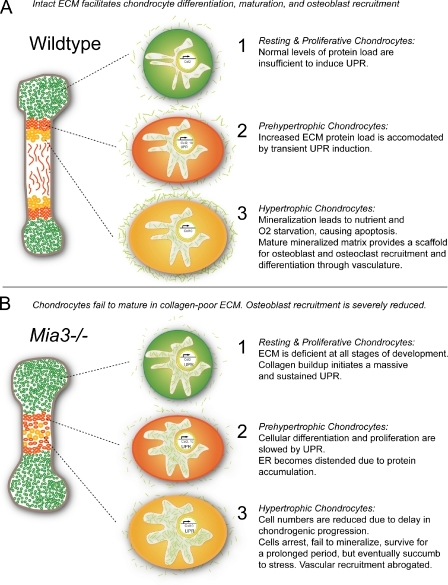 A schematic for the interaction between Mia3 and the UPR machinery in regulating collagen metabolism as modeled in chondrocytes. (A) In wt animals, the normally low levels of UPR regulators are sufficient to handle the increase in protein load during chondrocyte maturation. (B) The loss of Mia3 rapidly leads to buildup and retention of collagen within the ER and initiates a strong and sustained UPR that is sufficient to slow cellular differentiation and prevent generalized apoptosis.