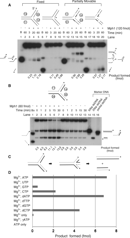 Mph1 DNA helicase activity on replication fork substrates. (A) Helicase activity of Mph1 on fixed or partially movable double-stranded three-way junction substrates. Mph1 (120 fmol) was incubated using reaction conditions in Figure 6. (B) Replication fork regression activity of Mph1 on completely movable double-stranded three-way junction substrate. Assays were performed with 60 fmol of Mph1 using standard reaction conditions (20 μl) for various incubation periods (0, 1, 2, 5, 15 and 30 min). The amount of total product (slower and faster migrating band) formed by regression is indicated below each lane. In this case, the level of product formed in the absence of Mph1 was not subtracted. (C) Illustration how two dsDNA products are formed by regression of replication forks via chicken-foot structure. (D) Replication fork regression activity of Mph1 with various ribo- and deoxyribonucleotides as cofactors. Mph1 (50 fmol) was incubated using standard reaction condition for 15 min and the amount of product formed is shown as a bar graph. The level of product formed in the absence of Mph1 was subtracted from the values presented.