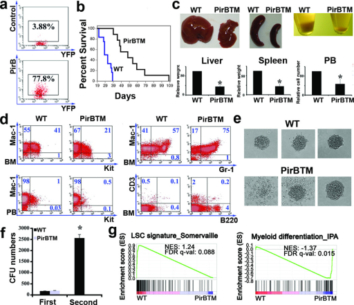 PirB suppresses differentiation and enhances development of MLL-AF9 AMLa, PirB expression on YFP+Mac-1+Kit+ AML cells as determined by flow cytometery. b, Survival curve of mice receiving MLL-AF9-infected WT or PirBTM hematopoietic progenitors (n = 15); p < 0.05. c, Comparison of the sizes of spleen, liver, and numbers of peripheral blood cells of the mice transplanted with WT MLL-AF9 cells and those with PirBTM MLL-AF9 cells at 28 d after transplantation (n = 6). d, Representative flow cytometry plots showing that PirBTM AML mice have decreased Mac-1+Kit+ cells and increased differentiated cells relative to mice transplanted with WT cells at 28 d after transplantation. e, Comparison of colony forming activity of WT and PirBTM MLL-AF9+ BM cells. Shown is typical morphology of WT and PirBTM CFUs. f, PirBTM MLL-AF9 BM cells have dramatically decreased CFU forming ability in second replating (n = 3). g, GSEA plots evaluating changes in leukemia initiation/maintenance and myeloid differentiation gene signatures upon PirB signaling depletion in WT or PirBTM MLL-AF9 Mac-1+Kit+ AML cells. * p < 0.05. Error bars, s.e.m.