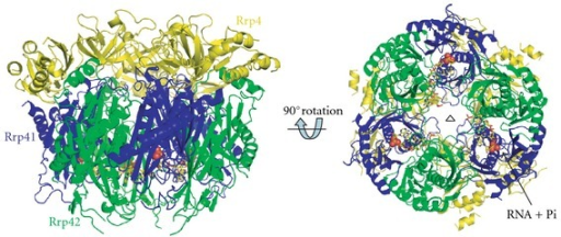 Overall structure of the S. solfataricus exosome with the two RNase PH subunits Rrp41 and Rrp42 displayed in blue and green, respectively, and the RNA binding protein Rrp4 displayed in yellow. The bound RNA substrate is shown as a stick model and the inorganic phosphate atoms as spheres. The picture on the right shows a 90-degree rotation around the horizontal axis with the 3-fold symmetry axis indicated as a triangle.
