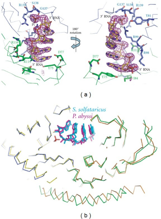 Detailed view of the S. solfataricus exosome active site in complex with RNA and inorganic phosphate. (a) RNA, Pi and contacting residues are shown as sticks (blue for Rrp41 residues and green for Rrp42 residues). An unbiased Fo-Fc electron density map at 3 sigma is displayed in magenta. Two orientations related by a 180 degree rotation around the vertical axis are shown. (b) Position of RNA substrates in the active sites of exosomes from S. solfataricus (RNA displayed in cyan, Rrp41 in blue and Rrp42 in green) and P. abyssi (RNA in magenta, Rrp41 in yellow and Rrp42 in orange) after superimposing the backbone C-alpha atoms. The position of the inorganic phosphate as observed in the S. solfataricus exosome is shown in red. The position of the RNA is very similar in the two different archaeal exosomes.