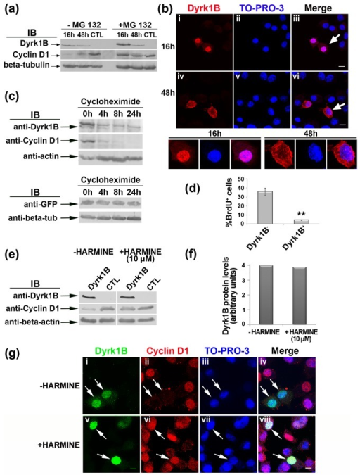 Dyrk1B protein expression and turn-over in Neuro 2a cells.(a) Dyrk1B expression in transiently transfected Neuro 2a cells was examined at 16 h and 48 h post-transfection in the presence or in the absence of the specific proteasome inhibitor MG132. Dyrk1B is not detectable in non-transfected Neuro 2a cells (CTL) with available antibody, while transgene Dyrk1B, obvious at 16h, is decreased overtime in a proteasome-specific manner (upper panel). In the absence of MG132, cyclin D1 levels are inversely related to Dyrk1B (middle panel) while in the presence of MG132 cyclin D1, also degraded via the proteasome, is maintained despite persisting Dyrk1B expression (middle panel); β-tubulin indicates protein loading (lower panel). (b) Dyrk1B is localized in the nucleus of Dyrk1B+ Neuro 2a cells 16 h post-transfection, while at 48 h it is mainly cytoplasmic as shown by immunocytochemistry and confocal microscopy. The cells depicted by arrows at 16h and 48h, respectively, are shown at higher magnification. Different image acquisition settings were used at 16h and 24h to compensate for signal reduction at 48h. Scale bar: 10 μm. (c) Dyrk1B protein turn-over in Neuro 2A cells. Cells were transfected with Dyrk1B and allowed for expression 16 h after transfection. Cells were then treated with cycloheximide for different times as indicated and subjected to Western blot analysis. (d) Dyrk1B reduces BrdU incorporation in transiently transfected Neuro 2a cells after 16 h of expression. **Student's t-test, p=0.00146, n=5. (e) In the presence of 10 μM harmine, a specific kinase inhibitor of the Dyrk1 protein family, the Dyrk1B-dependent down-regulation of cyclin D1 is inhibited in Neuro 2a cells (middle panel) without affecting Dyrk1B protein levels (upper panel). Lanes show Neuro 2a cells transiently transfected with Dyrk1B and allowed 16 h for expression, or non-transfected cells (CTL), harvested and immunoblotted with the indicated antibodies. (f) Quantification of Dyrk1B protein levels normalized relative to β-actin, in the presence or absence of 10 μΜ harmine. (g) Cyclin D1 is wiped out from the nuclei of Dyrk1B+ transiently transfected Neuro 2a cells (arrows, i-iv) but is clearly maintained in the nucleus of Dyrk1B+ cells in the presence of harmine (arrows, v-viii). Cells were double labeled for Dyrk1B (green) and cyclin D1 (red) while nuclei were visualized using TO-PRO-3 (blue). The merged pictures are shown (iv, viii). Scale bar: 8 μm.