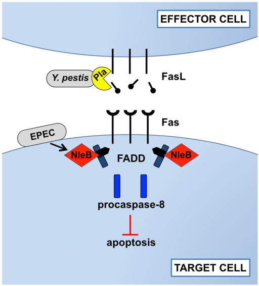 Disruption of Fas-FasL signaling by Pla of Y. pestis and NleB of EPEC.In response to bacterial infections, the host attempts to induce Fas/FasL-dependent cell apoptosis. During pneumonic plague, however, the Pla protease of Y. pestis directly cleaves FasL on effector cells to prevent the initiation of Fas signaling, blocking the activation of the initiator caspase-8, effector caspases -3 and -7, and cell death by apoptosis. As an alternative strategy during gastrointestinal infection, EPEC injects the type-III-secreted effector NleB into the cytoplasm of target cells, where it modifies FADD with N-acetylglucosamine to prevent death domain binding and downstream signaling following the engagement of Fas by FasL. While the mechanisms by which these bacteria target Fas-FasL signaling are distinct, the end result is the same: inhibition of apoptosis.