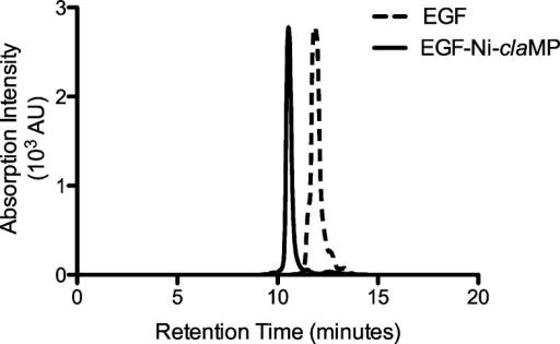 Size-exclusion chromatographyverifies that one main species ispresent in the sample. EGF-Ni-claMP elutes slightlyearlier than EGF.