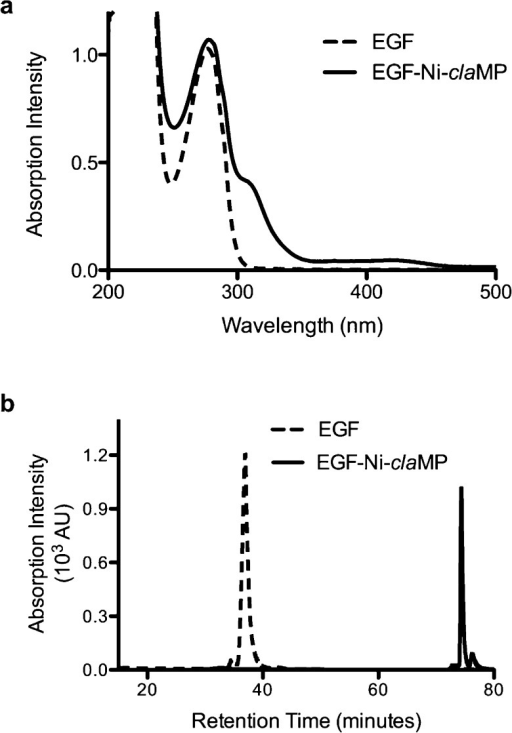 Ni(II) is successfullyincorporated into the claMP Tag in the presence ofEGF. (a) Absorption spectroscopy validatesNi(II) incorporation into the claMP Tag. In comparisonto EGF, EGF-Ni-claMP contains distinct features inthe visible region, which confirm Ni(II) incorporation. (b) Anionexchange chromatography demonstrates the difference in net chargebetween EGF and EGF-Ni-claMP due to the additionof Ni-claMP.
