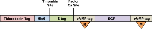 Cartoon of pET-32 expression construct of recombinant claMP-Tagged EGF.