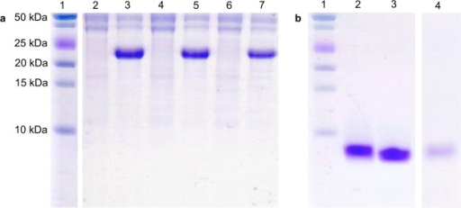 Addition of claMP Tag to EGF did not significantlyhinder expression or purification of desired product. Coomassie stained18% tris-tricine gels illustrating the expression of pET-32-EGF, pET-32-claMP-EGF, and pET-32-EGF-claMP and finalpurified EGF products. (a) (Lane 1) molecular weight standard, (lanes2, 4, 6) E. coli lysate of pET-32-EGF,pET-32-claMP-EGF, and pET-32-EGF-claMP before IPTG induction, (lanes 3, 5, 7) E. coli lysate of pET-32-EGF, pET-32-claMP-EGF, and pET-32-EGF-claMP 16 h after IPTG induction. (b) (Lane 1) molecularweight standard, (lane 2) purified EGF-Ni-claMP,(lane 3) purified EGF, and (lane 4) purified Ni-claMP-EGF.