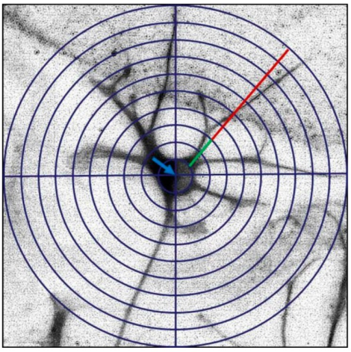 Schematic drawing of the modified Sholl method to determine the number and length of primary and secondary dendrites. A grid of concentric circles equidistantly drawn five micrometers apart was superimposed at the center of the neuronal soma (blue arrow). Dendrite formation was determined by counting the number of emerging dendrites from the soma. Primary dendrite length was measured from the soma up to the first intersection (green line). Complexity of dendrites was determined by counting the number of secondary dendrites as well as by measuring their length (red line).