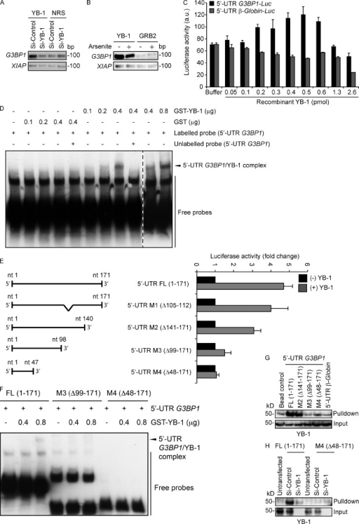 YB-1 regulates G3BP1 translation through the G3BP1 5′ UTR. (A) mRNA transcripts bound to YB-1 were riboimmunoprecipitated (RIPed) using anti–YB-1 antibodies or normal rabbit serum (NRS) from siControl and siYB-1 kd cell lysates. Captured mRNAs were reverse-transcribed and PCR amplified using primers specific for G3BP1 or XIAP as a control. (B) YB-1–bound mRNAs were RIPed using anti–YB-1 or control anti-GRB2 antibodies from polysomes prepared from vehicle alone and arsenite-treated U2OS cells, and subjected to semiquantitative RT-PCR using G3BP1- and XIAP-specific primers. (C) Constructs containing 5′ UTR sequences of G3BP1 (black) or β-Globin (gray) fused in frame to Luciferase were used for in vitro coupled transcription translation. Increasing concentrations of recombinant YB-1 were added to the assay mixture, and luciferase activity was measured. Error bars indicate SD. (D) RNA EMSA analysis to measure direct binding of YB-1 to the full-length G3BP1 5′ UTR. Biotin-labeled full-length G3BP1 5′ UTR mixed with recombinant GST-YB-1 was subjected to EMSA. The arrowhead indicates a probe mobility shift in the presence of 0.4 µg of GST-YB-1, and enhanced intensity at 0.8 µg of GST-YB-1. A 200-fold molar excess concentration of unlabeled full-length G3BP1 5′ UTR was added to demonstrate specificity of 5′ UTR G3BP1/YB-1 complex formation. As a control, recombinant GST was used in place of GST-YB-1. The broken line indicates that intervening lanes have been spliced out. (E) The full-length 5′ UTR G3BP1 (FL, 1–171) or deletion mutants (M1, Δ105–112; M2, Δ141–171; M3, Δ99–171; and M4, Δ141–171) were cloned in frame with Luciferase and used for in vitro coupled transcription/translation assays ±0.5 pmol YB-1 as described in C. Error bars indicate SD. (F) RNA EMSA showing that YB-1 binds to the full-length (FL, 1–171) G3BP1 5′ UTR but not M3 and M4 mutants. (G) Biotin end-tagged full length or the indicated deletion mutants of the G3BP1 5′ UTR were subjected to RNA affinity chromatography from U2OS lysates using Streptavidin beads. Affinity-purified proteins were immunoblotted using anti–YB-1 antibodies. Biotin end-tagged 5′ UTR of β-Globin was used as a control. (H) Full-length G3BP1 5′ UTR or the M4 deletion mutant (Δ48–171) were transfected into siControl or siYB-1 kd U2OS cells. Lysates were prepared and subjected to RNA affinity chromatography and immunoblotted as described in G to detect 5′ UTR–bound YB-1. Untransfected cells served as controls.