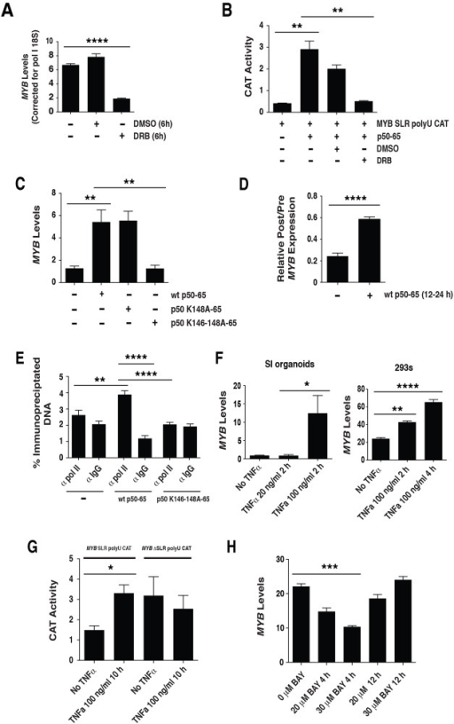 "NFκBp50-p65, P-TEFb and TNFα influence MYB elongation.(A) 293 cells were treated with the P-TEFb inhibitor DRB for 6 h and endogenous MYB expression assessed by QPCR. (B) Transactivation studies in 293 cells using 2 μg of the MYB SLR polyU CAT reporter and 0.125 μg of pcDNA NFκBp50-p65. At 12 h post transfection cells were treated with DRB and incubated for a further 24 h. (C) NFκBp50-p65 induces endogenous MYB. Total RNA was isolated from 293 cells transfected with; 1 μg of pcDNA NFκB p50-p65, 1 μg of pcDNA NFκBp50 K148A-p65 or 4 μg of pcDNA NFκBp50 K146-148A-p65 and analyzed by Q-PCR to measure MYB expression levels and (D) 1 μg of pcDNA NFκB p50-p65 and analyzed by Q-PCR to measure intronic pre-mRNA MYB transcript upstream (preSLR) and downstream (post SLR) of the MYB SLR polyU. Data are expressed as a ratio ""post/pre"", a measure of the amount of transcription through the SLR. (E) ChIP analysis of RNA polymerase II levels at the MYB SLR polyU. 293 cells were transfected with pcDNA, NFκB p50-p65 or pcDNA NFκBp50 K146-148A-p65. Cross-linked chromatin extracts were prepared at 48h post transfection and RNA polymerase II was detected by anti-pol II followed by Q-PCR. (F) SI organoids cultures and 293 cells were exposed to TNFα (20–100 ng/ml) for the times indicated and total RNA was isolated and analyzed by Q-PCR to measure MYB expression levels. (G) 293 cells were transfected with 2 μg of the MYB SLR polyU CAT or MYB ΔSLR polyU CAT reporter. At 24 h post transfection cells were exposed to 100 ng/ml TNFα for 10 h and CAT reporter activity assessed. (H) 293 cells were exposed to BAY inhibitor for the times indicated and total RNA was isolated and analyzed by Q-PCR to measure MYB expression levels. Error bars represent mean ± SEM, * P <0.05, ** P <0.01, *** P <0.001, **** P <0.0001."
