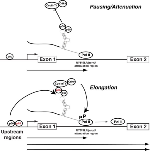 Model for the NFκBp50 and p65 regulation of MYB elongation through the intron 1 MYB SLR polyU region and upstream sequences.NFκBp50 binding at upstream sequences stimulates transcription from the multiple start sites. Transcripts are then paused/attenuated at the downstream MYB SLR polyU. In the absence of NFκBp65, NFκBp50 occupies the MYB SLR polyU region and MYB transcription is paused. In contrast the formation of a NFκBp50-p65 heterodimer on the MYB SLR polyU contributes to the stimulation of MYB transcription elongation by the NFκBp65-mediated recruitment of P-TEFb and the subsequent Ser2 phosphorylation of Pol II CTD (elongating form) by CDK9. This model is consistent with i) previous findings that NFκBp65 mediates transcriptional elongation through the direct recruitment of P-TEFb [50] and ii) our recent observations that ERα recruits P-TEFb to a region near the MYB SLR polyU and that this interaction is concordant with the accumulation of Ser2 CTD phosphorylated pol II bound to this region and the relief of MYB transcriptional attenuation [22]. This model also raises the possibility that the regulation of MYB may also involve the interaction of upstream bound NFκBp50/65 with the downstream intron 1 MYB SLR polyU. Recent data indicate that enhancer elements loop towards murine Myb intron 1 to bring the transcription apparatus to the vicinity of the pausing region and regulate Myb attenuation/elongation [19] and we have shown that the upstream regions of MYB lie in proximity to the MYB SLR polyU S5 Fig Furthermore, recent structure based analyses of HIV-1 LTR interactions suggest that pre-formed NFκBp50-DNA complexes can interact with downstream HIV TAR RNA [48].