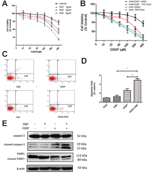 PMF sensitized A549/CDDP cells to CDDP. (A) A549/CDDP cells were exposed to PMF (10, 25, and 50 μM) and were incubated with increasing concentration of CDDP (5 – 400 μM) in culture for 48 h and SRB assay were taken. (B) Comparison of the suppression of PMF (25 μM) combined with different concentration of CDDP on A549 cells and A549/CDDP cells. (C–D) Apoptosis ratios were determined through flow cytometry. (E) The expression of cleaved Caspase 3 and PARP1were determined by Western blot. Data are presented as means ± SD of three independent experiments and significant differences are indicated as *P < 0.05.