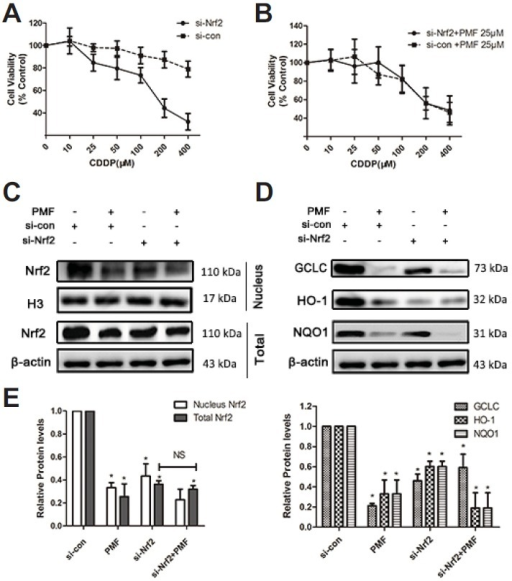 PMF increased the sensitivity of A549/CDDP cells to CDDP by inhibition of Nrf2. (A–B) Effect of Nrf2 knockdown on the sensitivity to CDDP. Cells were treated with CDDP (10 – 400 μM) alone or combination with 50 μM PMF for 48 h. Cell viability was determined by SRB assay. (C–D) Effect of Nrf2 knockdown on the expression of Nrf2-mediated antioxidant genes. *P < 0.05, versus resistance. Data are presented as means ± SD of three independent experiments and significant differences are indicated as *P < 0.05.