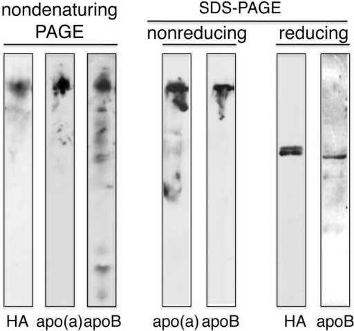 Immunoblot analysis of transgenic pig plasma apo(a).Aliquots of plasma were separated by either 4% nondenaturing polyacrylamide gel electrophoresis (PAGE) or 4% SDS-PAGE under nonreducing (left) or reducing (right) conditions. The SDS-PAGE samples of nonreducing and reducing conditions were electrophoresed on the same gels. After electrophoretic transfer, the proteins were immunoblotted using an anti-human apo(a) mAb or an anti-apoB mAb as described in Materials and Methods. Since the reactivity of materials separated under reducings to anti-apo(a) mAb become weak, they were blotted with anti-HA mAb.