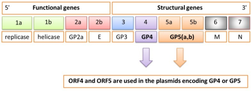 Schematic genome of porcine reproductive and respiratory syndrome virus (PRRSV) composed of 10 open reading frames (ORFs) encoding the different functional and structural proteins. In particular, ORF4 and ORF5 are used in the plasmid encoding GP4 or GP5 proteins.
