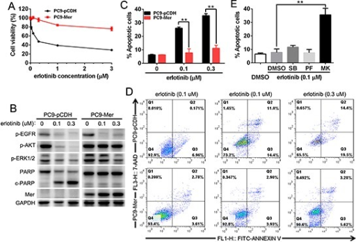 Mer overexpression induces the resistance of NSCLC cells to erlotinib(A) PC9 cells stably expressing control (PC9-pCDH) or Mer (PC9-Mer) were treated with serially diluted concentrations of erlotinib for 72 h and cell viability was determined by MTT assay. (B) PC9 cells stably expressing control (PC9-pCDH) or Mer (PC9-Mer) were treated with erlotinib at indicated concentrations for 24 h and then activation of EGFR-related signaling pathway and PARP cleavage were evaluated by western blotting. Blots representative of three independent experiments were shown. (C and D) PC9 cells stably expressing control (PC9-pCDH) or Mer (PC9-Mer) were treated with erlotinib at indicated concentrations for 24 h and then cell apoptosis were determined by Annexin V/7AAD staining. The representative dotplots of three experiments were shown in D. (E) PC9 cells stably expressing Mer (PC9-Mer) were pretreated with the corresponding inhibitors for MAPK (SB203580, 1 μM), FAK (PF-562271, 1 μM)) and AKT (MK2206, 4 μM)) signals with DMSO treatment as controls for 4 h followed by addition of erlotinib for 20 h and cell apoptosis were determined by Annexin V/7AAD staining. All data are expressed as mean ± SD of triplicates and representative of three independent experiments. **p < 0.01, paired student t test (for C) or ANOVA followed by Tukey's multiple comparisons test (for E).