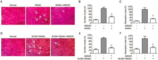 WSS25 inhibits osteoclastic bone resorption in both RAW264.7 cells and BMMs. (A) RAW264.7 cells (1×105 cells/mL) were cultured on bone slices and stimulated by RANKL (50 ng/mL), with or without WSS25 (10 μg/mL) for 5 d. Bone slices were stained with hematoxylin after cells were removed. Formed resorption pits were photographed using a microscope (×1000). (B) The numbers of resorption pits were counted and statistically analyzed. (C) The areas of resorption pits were calculated using Image-Pro Plus 6.0. n=3. Values are shown as the mean±SD. cP<0.01 vs RANKL group. (D) BMMs (5×104 cells/mL) were cultured with M-CSF (20 ng/mL) and RANKL (50 ng/mL), in the presence or absence of WSS25 (10 μg/mL), on bone slices for 7 d. Bone slices were then stained with hematoxylin and photographed (×1000). (E) The numbers of resorption pits were counted and statistically analyzed. (F) The areas of resorption pits were calculated by Image-Pro Plus 6.0. n=3. Values are shown as the mean±SD. cP<0.01 vs M-CSF+RANKL group.