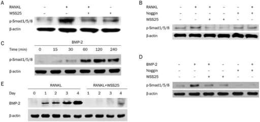 WSS25 inhibits the RANKL- or BMP-2-induced phosphorylation of Smad1/5/8 in RAW264.7 cells. (A, B) RAW264.7 cells (1×106 cells/mL) were incubated with RANKL (50 ng/mL) in the presence or absence of WSS25 (10 μg/mL) or noggin (250 ng/mL) for 22 h. Cells were then lysed. The phosphorylation Smad1/5/8 was detected by Western blot. (C) RAW264.7 cells were incubated with BMP-2 (100 ng/mL) for the indicated times. The cells were lysed and the phosphorylation of Smad1/5/8 was detected by Western blot. (D) RAW264.7 cells were stimulated with BMP-2 (100 ng/mL) and treated with WSS25 (10 μg/mL) or noggin (250 ng/mL) for 60 min. Then, the cells were lysed and the extracts were probed with anti-pSmad1/5/8 antibody. (E) RAW264.7 cells were incubated with RANKL (50 ng/mL), in the presence or absence of WSS25 (10 μg/mL), on the indicated days. BMP-2 expression was detected by immunoblotting.
