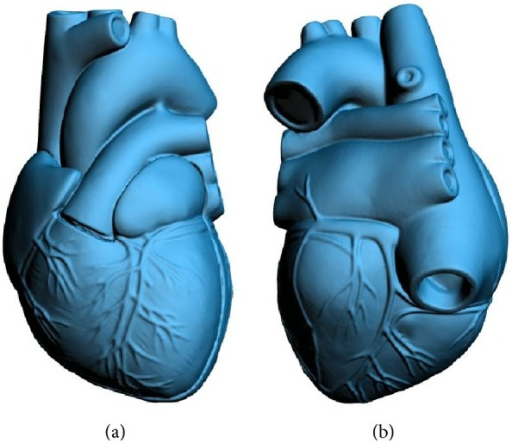 Front and back views of the digital 3D heart model.