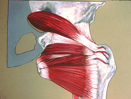 piriformis muscle; superior gemelli muscle; inferior gemelli muscle; quadratus femoris muscle